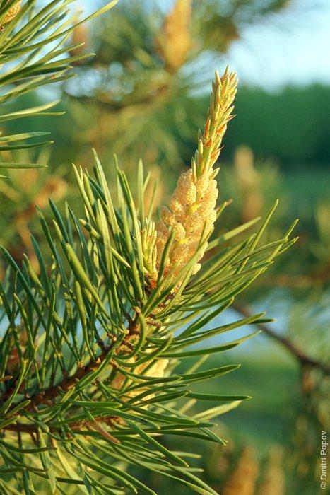 Сироп из молодых побегов елки поможет очистить легкие