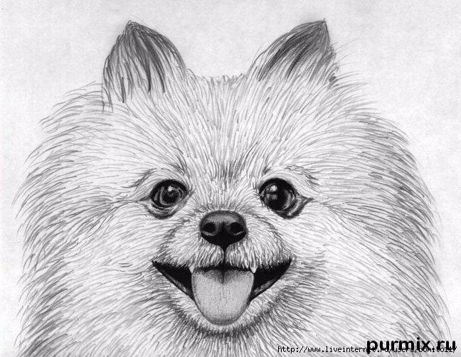 Рисунки собак шпиц