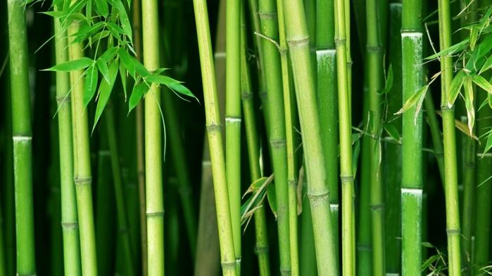 bambuk (700x393, 298Kb)