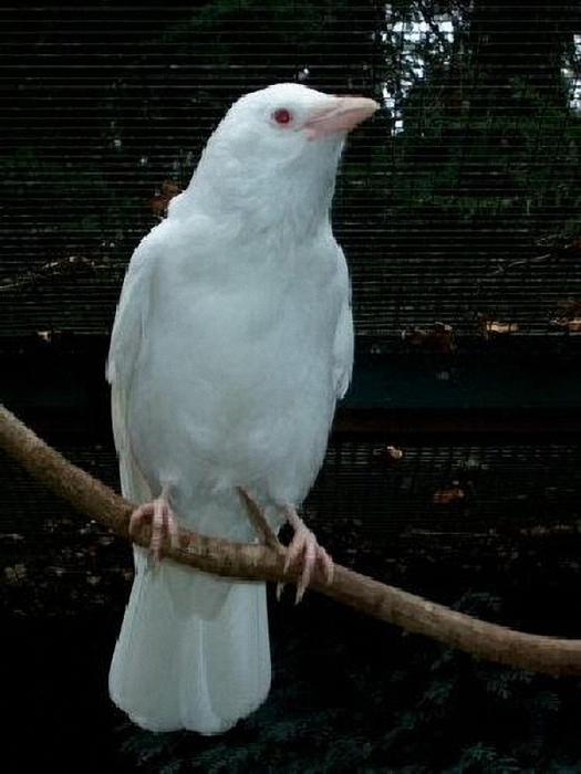 Белая Ворона (525x700, 464Kb)