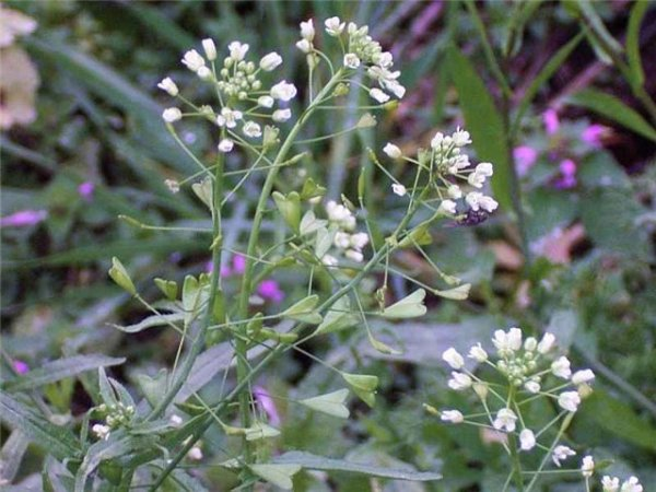 Трава пастушьей сумки (лат.  Bursae pastoris herba .