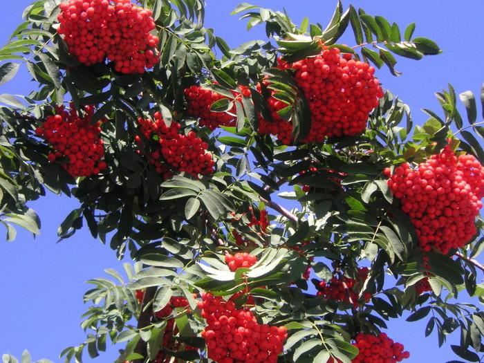 гроздья рябины/1316727364_ryabina (700x525, 152Kb)