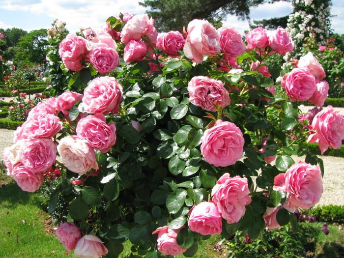 розы (700x525, 177Kb)