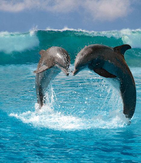 Увидеть дельфинов - это знак того, что человек будет счастлив в ближайшее.