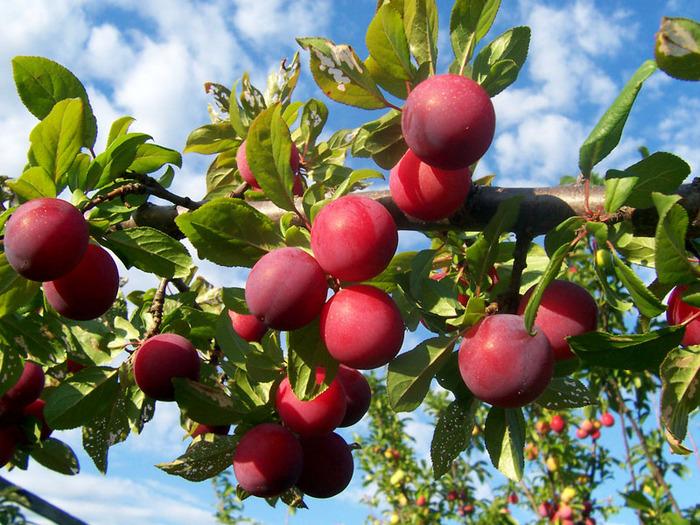 фруктово-ягодное настроение 87359