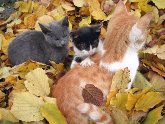 коты и осень (2) (700x526, 66Kb)