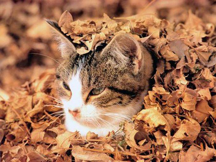 коты и осень (3) (700x526, 79Kb)