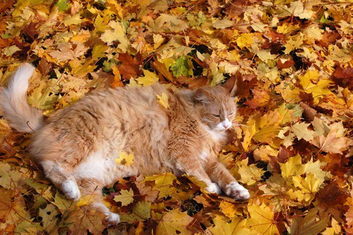 коты и осень (5) (700x466, 90Kb)