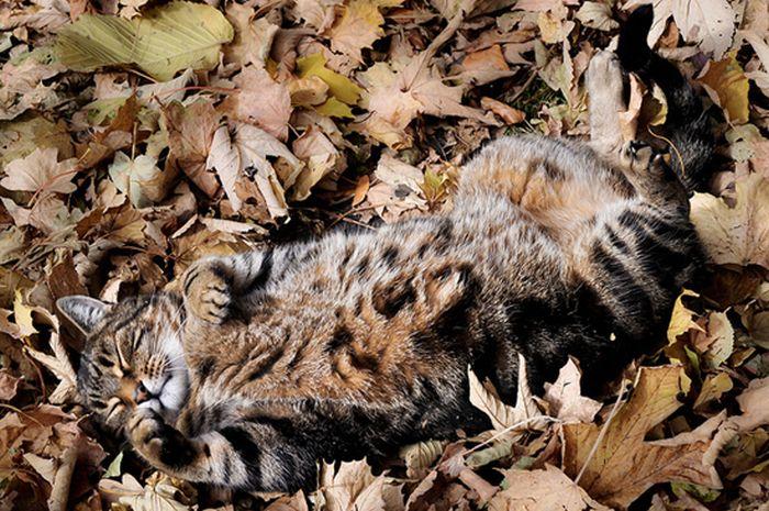 коты и осень (7) (700x465, 102Kb)