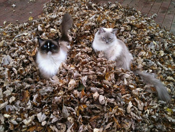 коты и осень (9) (700x526, 104Kb)