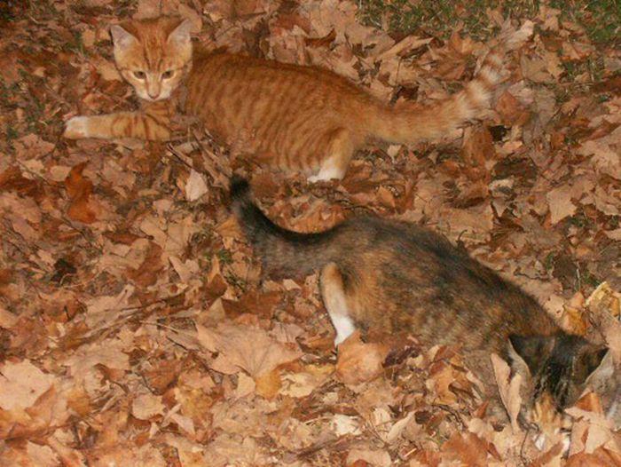 коты и осень (13) (700x526, 81Kb)