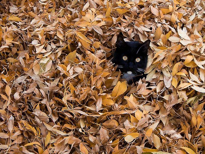 коты и осень (15) (700x526, 131Kb)