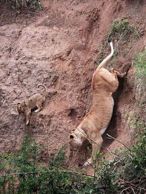 Спасение маленького львенка (фото)