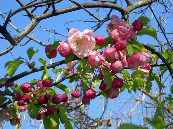 Цветущая яблоня (592x444, 85Kb)
