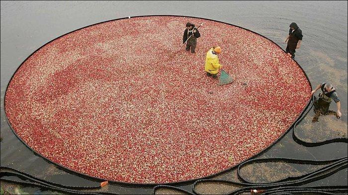 cranberry-02 (700x393, 117Kb)