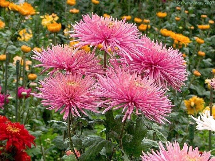 осенние цветы (700x525, 82Kb)