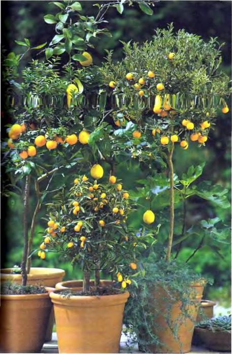 Комнатные растения. Иллюстрированная энциклопедия_227 (458x700, 149Kb)