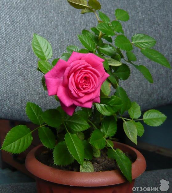 Корень розы