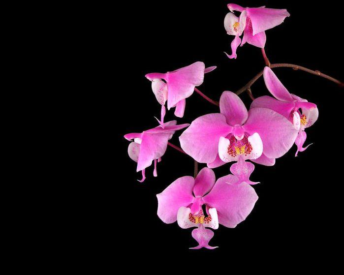 Орхидеи встречаются практически на всех континентах и удивляют своим разнообразием.  Каждый год открывают ещё...