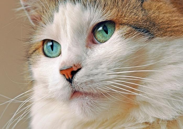 кошка с умными глазами (700x492, 112Kb)