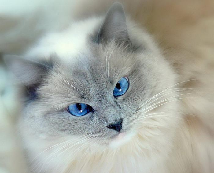 голубоглазый красавец (700x564, 82Kb)