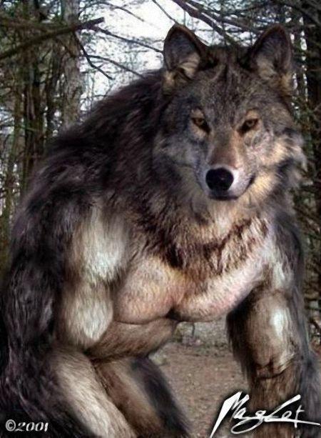 волк-оборотень.