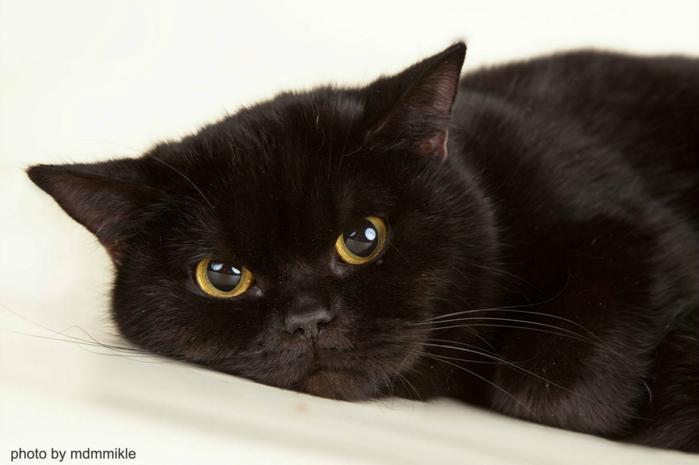 Черные коты персы