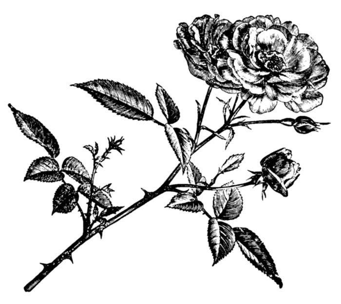 roses019 (700x625, 268Kb)