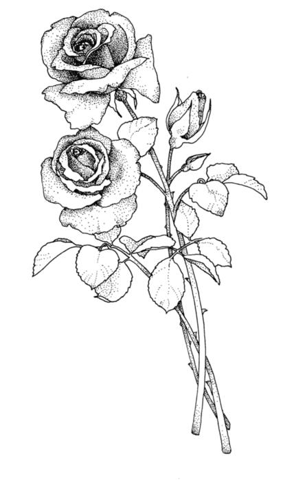 roses076 (428x700, 81Kb)