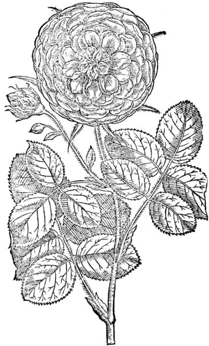 roses077 (423x700, 186Kb)