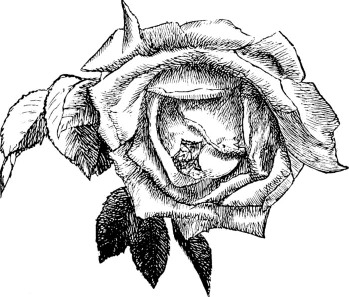 roses081 (700x596, 204Kb)