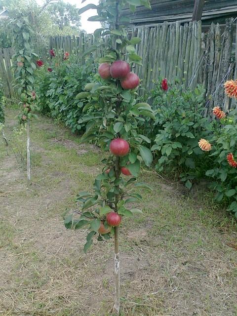 коллоновидная яблоня (480x640, 147Kb)