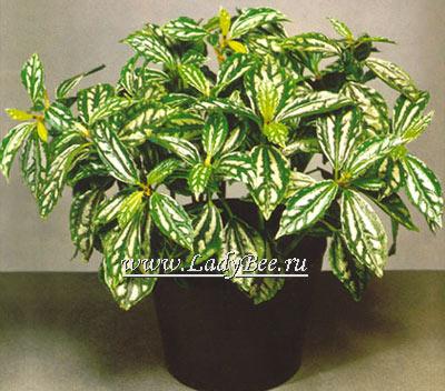 passiflora (400x352, 49Kb)