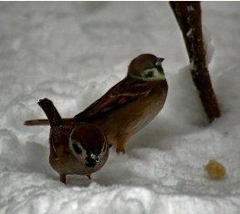 Воробьи_зимой_ (263x235, 11Kb)