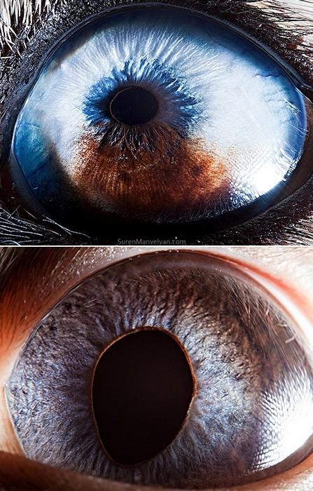 Husky_siamese_eye_6 (447x700, 127Kb)