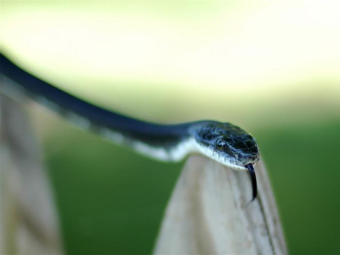 Змея синего цвета.