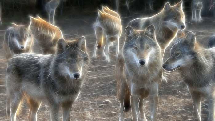wolves-wallpaper-1366x768 (700x393, 97Kb)