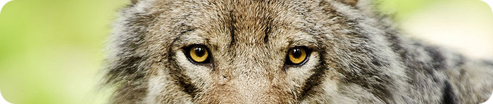 the_magical_eyes_of_a_wolf_by_picturebypali-d37806p (700x148, 230Kb)