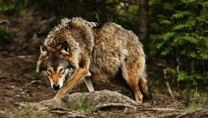 huge_wolf_by_picturebypali-d491pb2 (700x397, 125Kb)