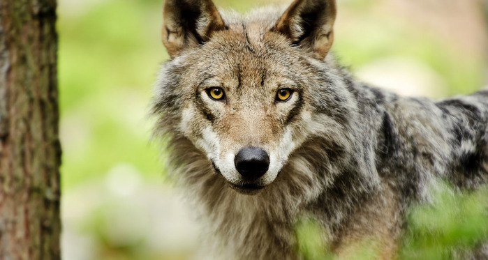 the_magical_eyes_of_a_wolf_by_picturebypali-d37806p (700x373, 84Kb)