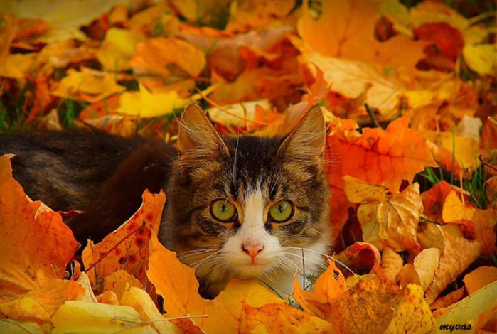 Кот и осень (700x470, 97Kb)