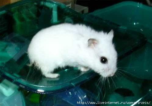 Сибирский хомячок ( или русский). по своему внешнему виду очень похож на...