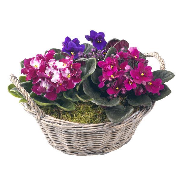 4278666_violetas (600x600, 69Kb)