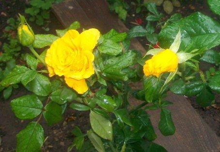 розы (454x315, 50Kb)