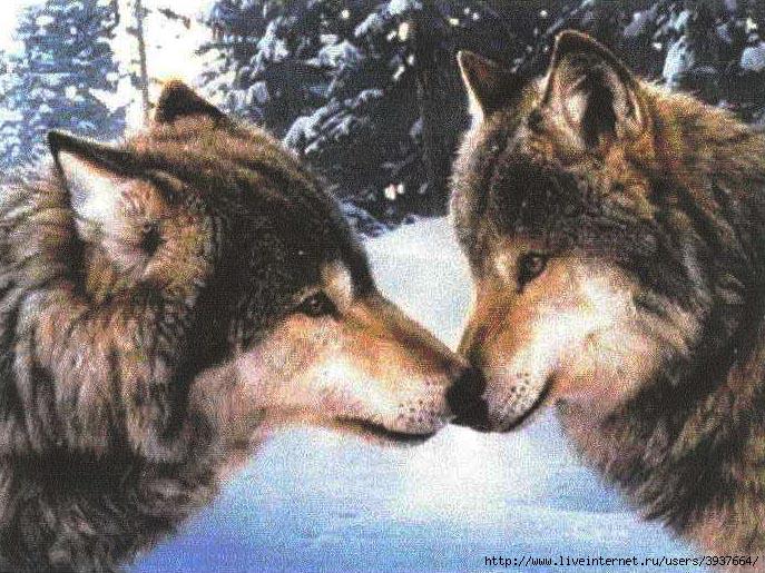 3937664_wolves (687x515, 300Kb)
