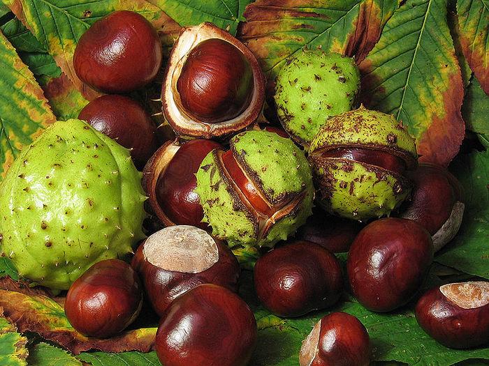800px-Aesculus_hippocastanum_fruit (700x525, 139Kb)