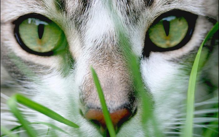 Кошка с зелеными глазами картинки 5