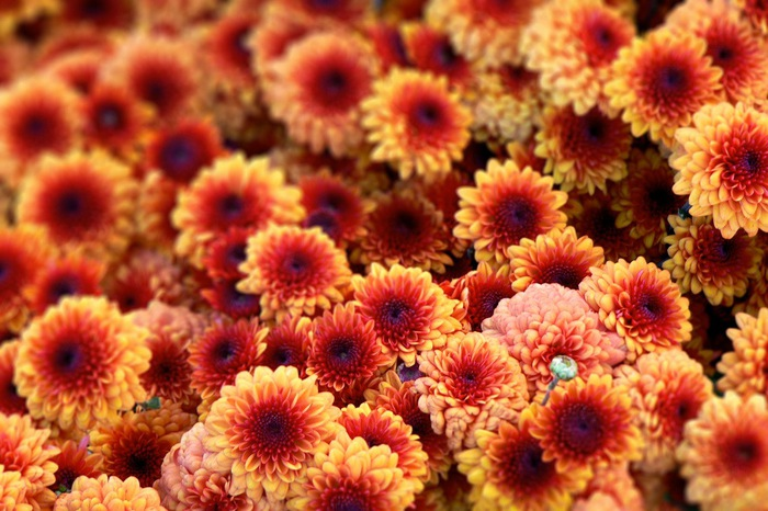 4216969_Chrysanthemum07 (700x466, 123Kb)