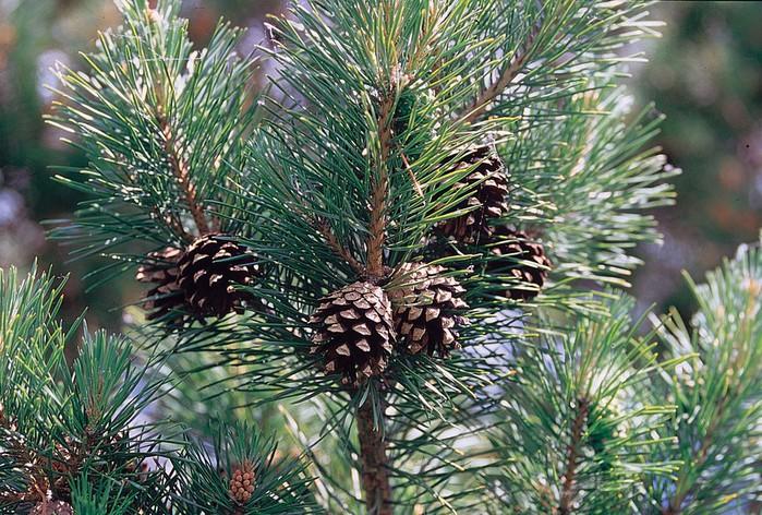 Pinus_sylvestris_branch (700x472, 167Kb)