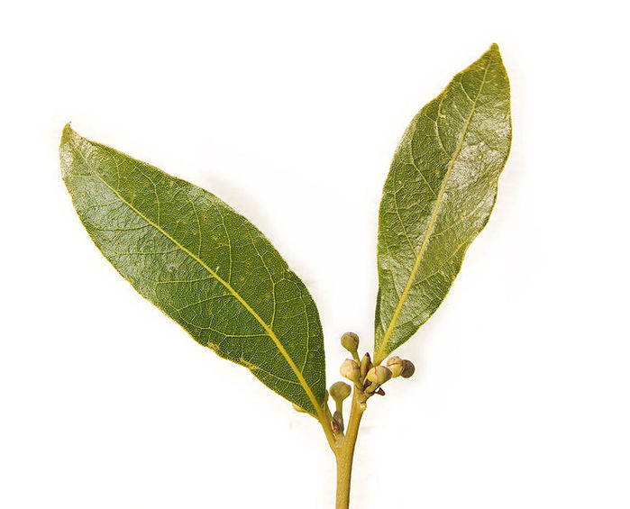 4278666_bay_leaf_pair443 (700x565, 53Kb)